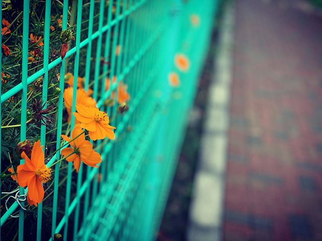 キバナコスモスが緑色の網状のフェンスから抜けて咲いている写真